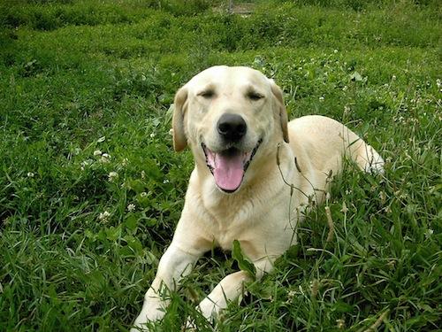I segnali del cane capirli ed interpretarli for Cane che abbaia