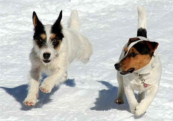 Jack russell terrier for Jack russel pelo lungo