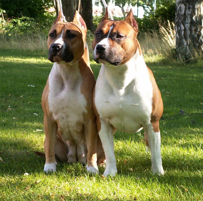 american staffordshire terrier vs - photo #41