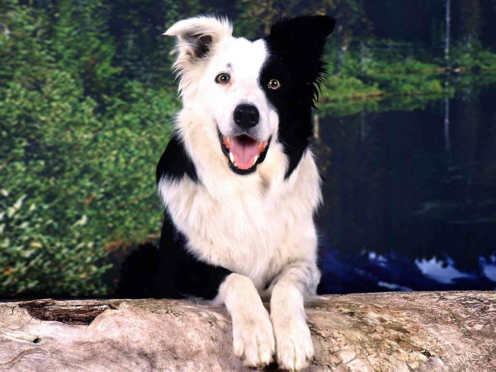 Border Collie Jack Russell Terrier Wallpaper
